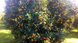 clementine-mature