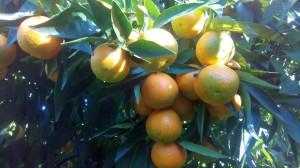 dettaglio-clementine